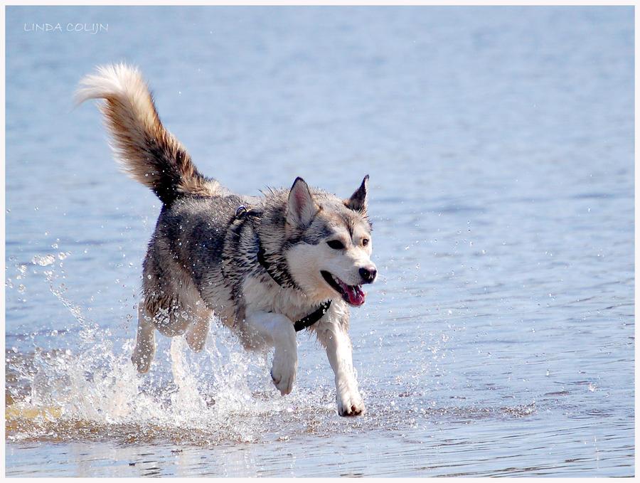 Splashing Husky by KonikPolski