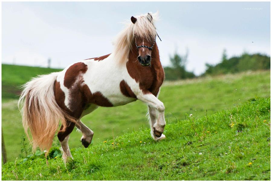 Proud Pony by KonikPolski