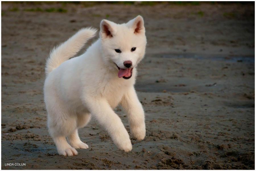 Miniature Akita | Dog Breeds Picture