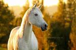 Arabian mare in the autumn backlight