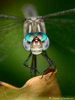 Dragonfly head-on by dllavaner by Nature-Club