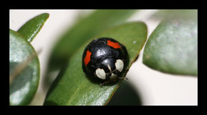 Black and Red Ladybird by ange by Nature-Club