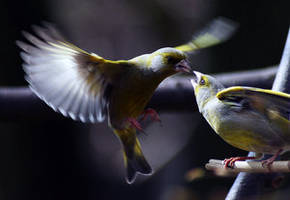 Greenfinches by LastAutumnShad by Nature-Club