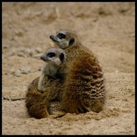 Meerkats III by Caelitha by Nature-Club