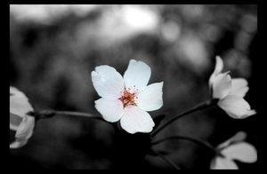 Sakura... by t3hdumi by Nature-Club