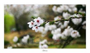 Sakura bloom by woolfier by Nature-Club