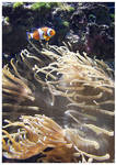 Amphiprion Ocellaris by c1n3kk by Nature-Club