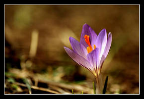 crocus by Mikado336655 by Nature-Club