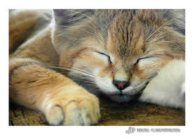 sand cat by neurophonix by Nature-Club