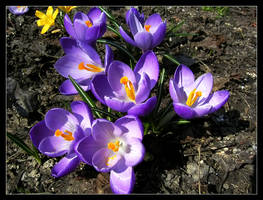 Crocuses by Nature-Club