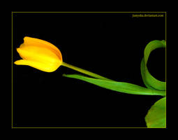 Tulip 3 by Nature-Club