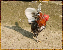 rooster II by webcruiser by Nature-Club