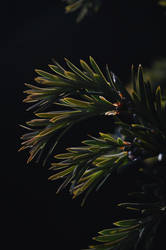 Taxus by ShortCircuit123