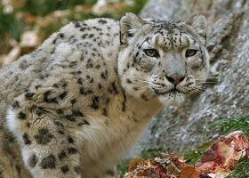 Kiw-snowleopard 0 by Jack-the-lantern