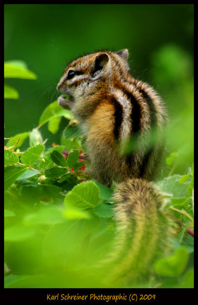 Chipmunk by KSPhotographic