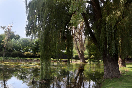 Pond with Willow