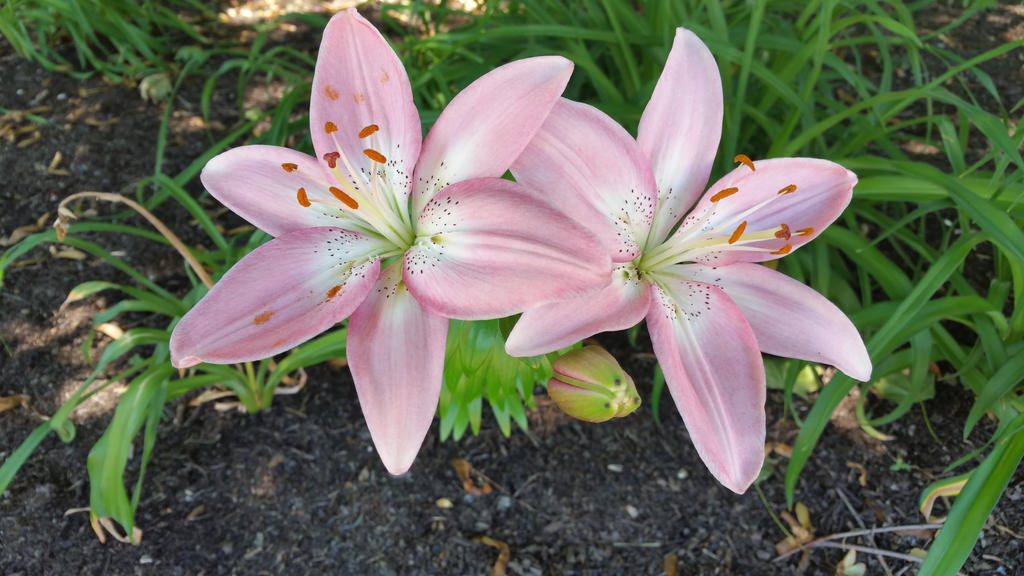 Pink Lilies by No1much