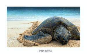 carey turtle by Chacalxxx