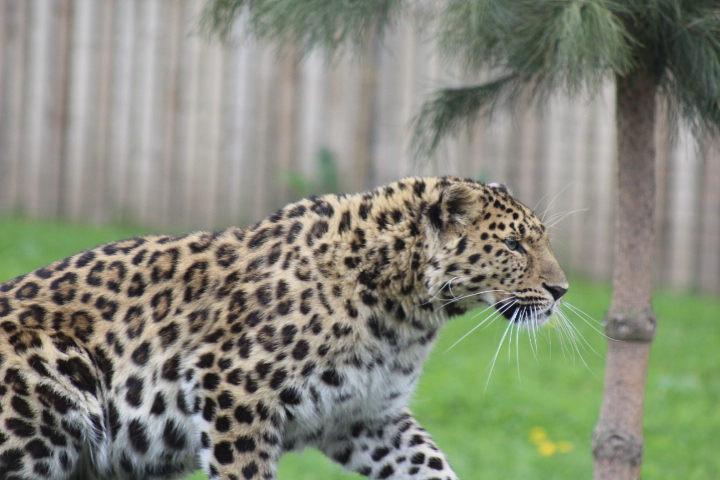 Amur Leopard 11 by lucky128stocks