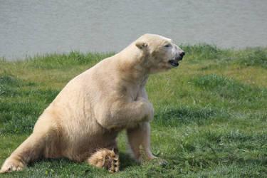 Polar Bear 1