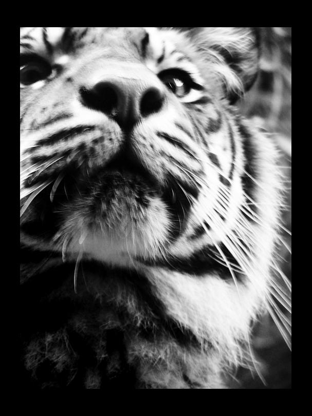 Kitten by kittiquin