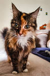 Petsit kitty Kruszyna