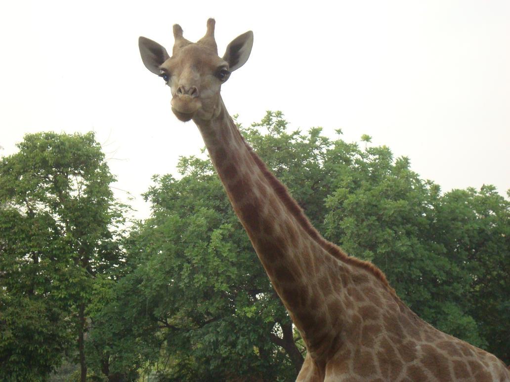 Giraffe by hiaamir