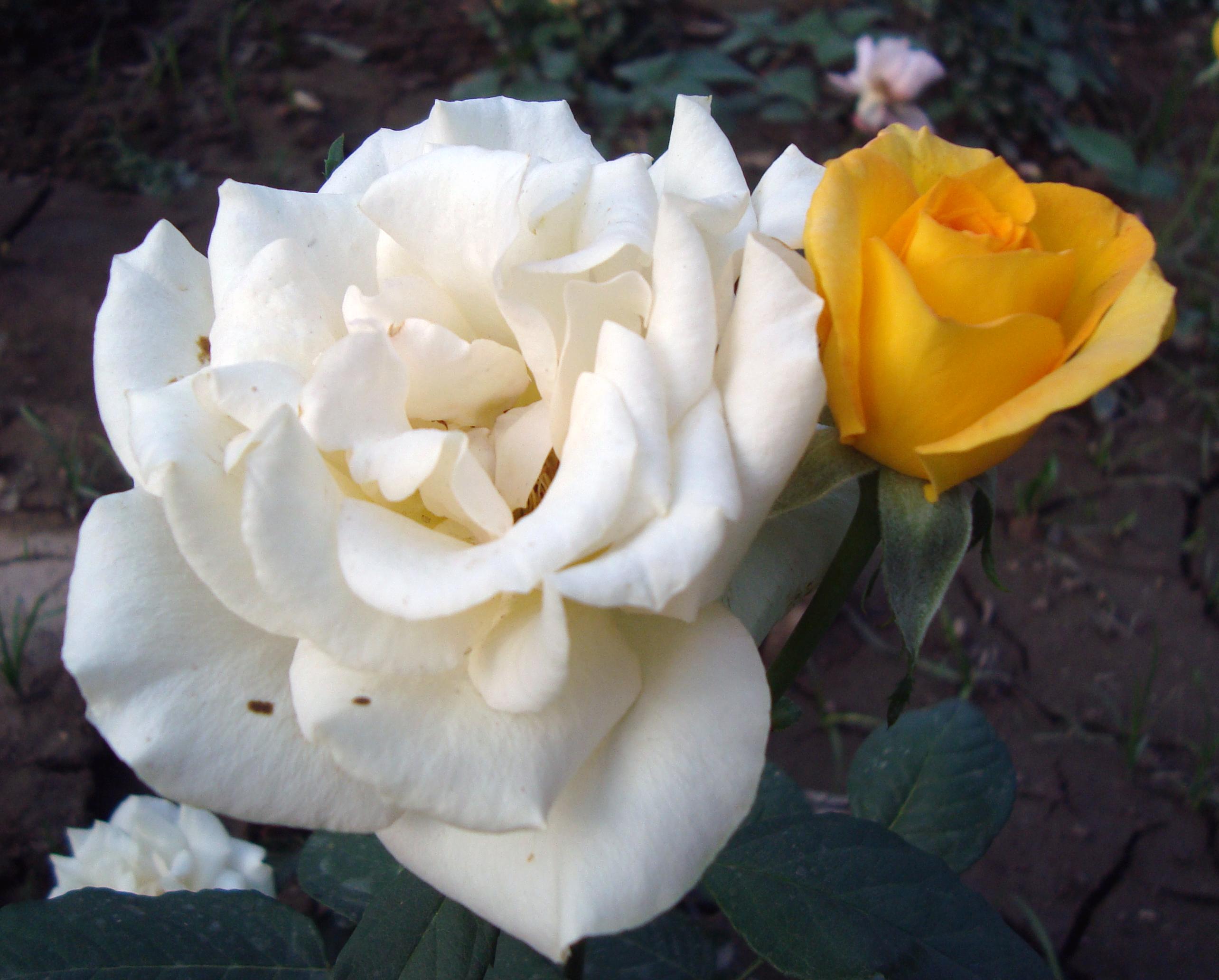 Rose by hiaamir