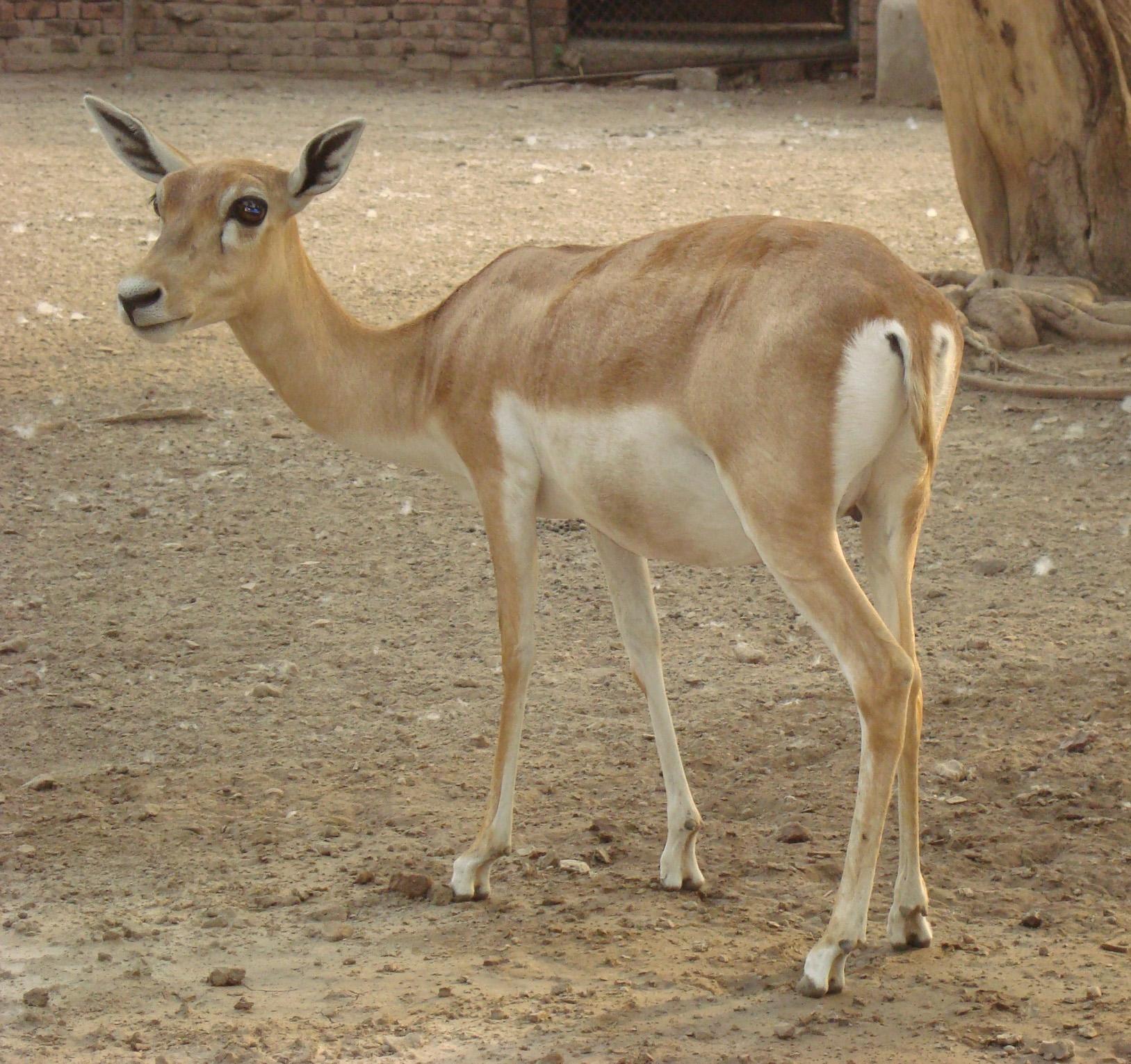 Deer by hiaamir