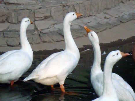 Goose - 3