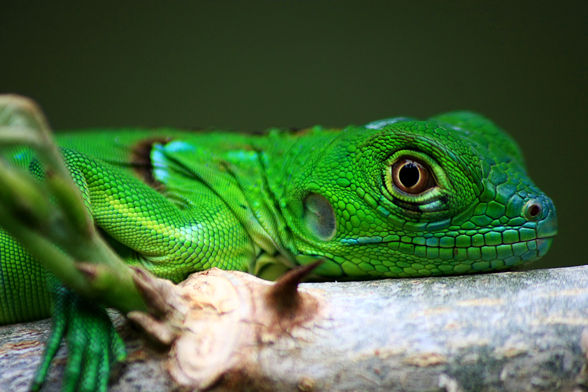 Green iguana baby by GlobalGraphic on DeviantArt