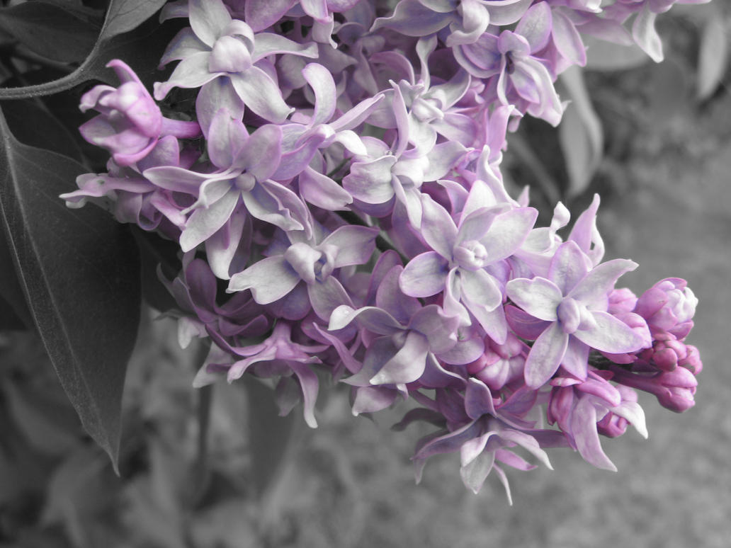 VIOLET - Page 3 Lilac_by_exploringcreation-d4cic9f