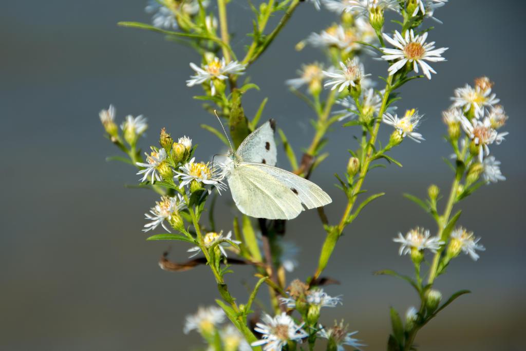 Cabbage White Butterfly On Flowers By Jenn Na Na On Deviantart