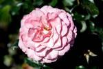 Sexy Rexy Rose