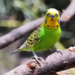 Pudgie Bird by Lashstar