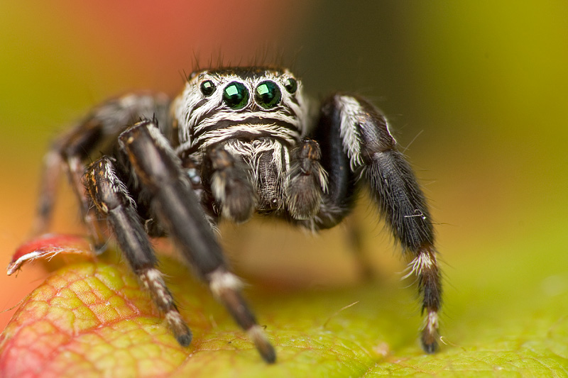 Jumping spider by Kaasik91