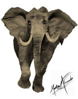 Elephant (cleaned up background) by Graywolf95