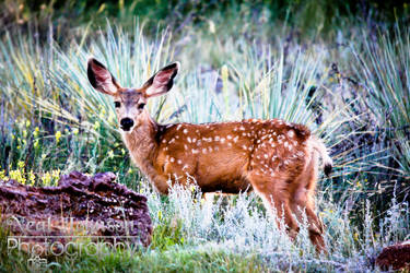 Spotted Fawn by strider92