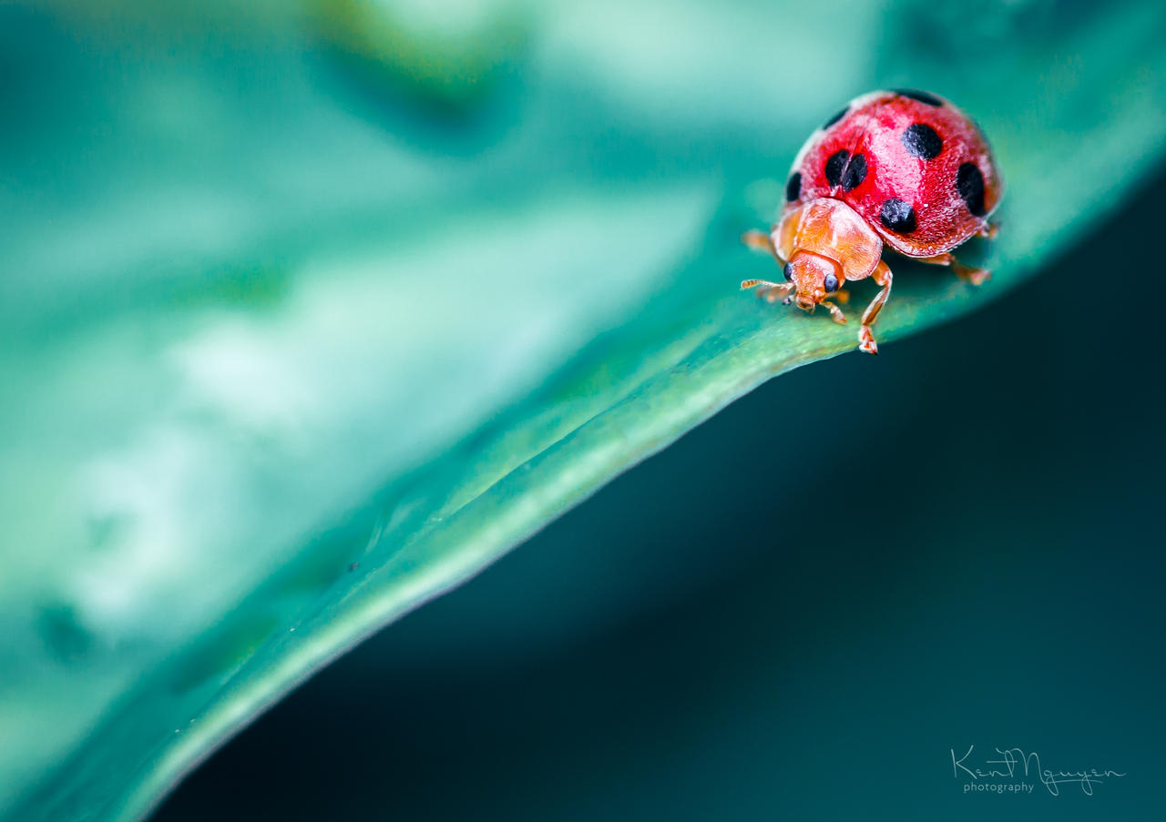Ladybug by kentnek