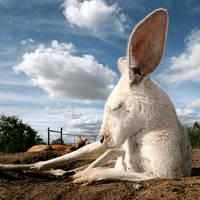 cartoon marsupial by bryan-cuttance