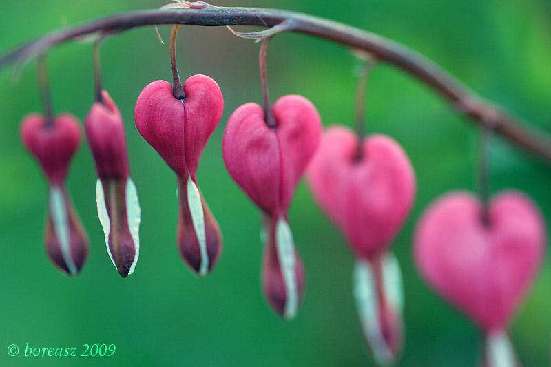 Plant  s hearts by boreasz