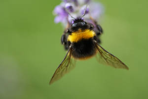 Hungry bumble bee by PhotoLiebe87