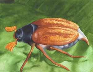 Melolonta Wathercolor