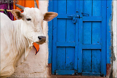 Holy Cow by FelixTo