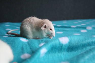 Rats by Miyakoooo