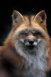 Older Work 01 - Fox With Winter Pelt