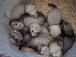 Ferret Pile by xwibbleywobbleyx