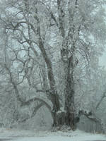 Winter Tree by kuschelirmel-stock