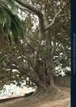 Old Tree 01