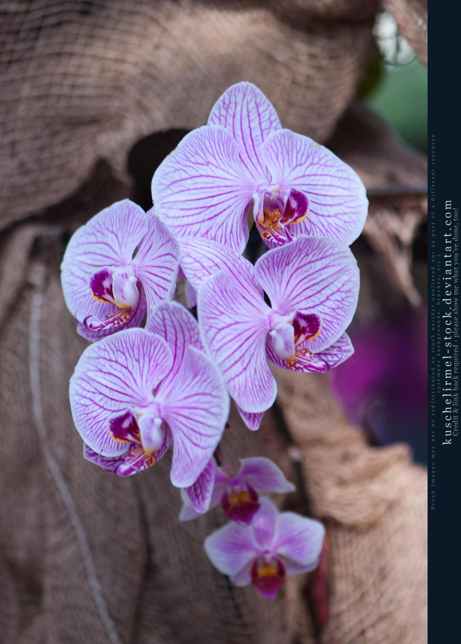 Orchids 07 by kuschelirmel-stock